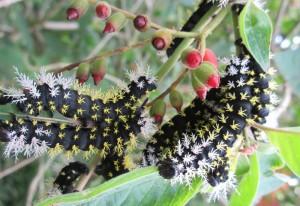 Stinging Silkworms