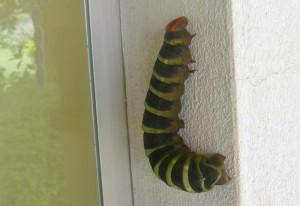 Pachylia syces syces Caterpillar