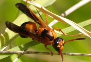 Possibly Mason Wasp