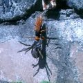 Spider Wasp preys upon Huntsman Spider