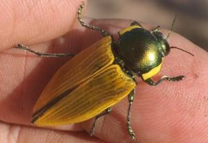 Variable Jewel Beetle