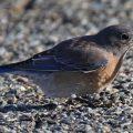 Western Bluebird eats Cutworm