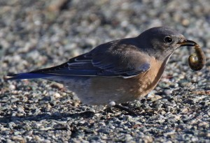 Western Bluebird eats Cutworm