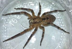 False Wolf Spider:  Zoropsis spinimana