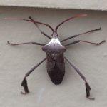 Big Legged Bug