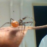 Immature Assassin Bug