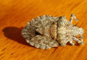 Rough Stink Bug