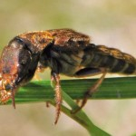 Brown and Gold Rove Beetle