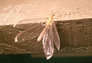 Giant Orange Lacewing