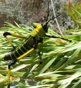 Green Milkweed Locust