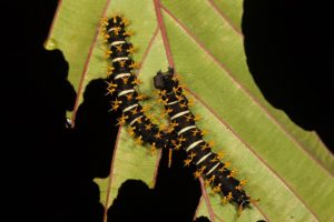 Silkmoth Caterpillars