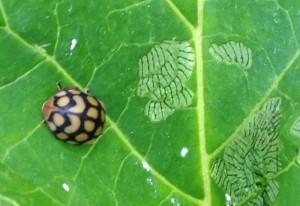 Leaf Beetle we believe