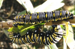 Queen Caterpillar (above) and Monarch Caterpillar