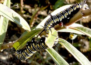 Queen Caterpillar (upper right) and Monarch Caterpillars