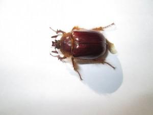 Rain Beetle