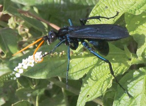 Spider Wasp, most likely Tarantula Hawk
