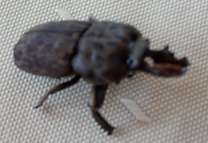 Probably Stag Beetle