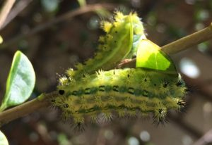 Stinging Slug Caterpillars