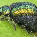 Possibly Leaf Beetle