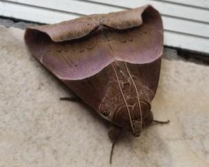Echo Owlet Moth
