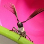 Featherhorned Longicorn