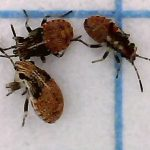 Possibly Seed Bug Nymphs