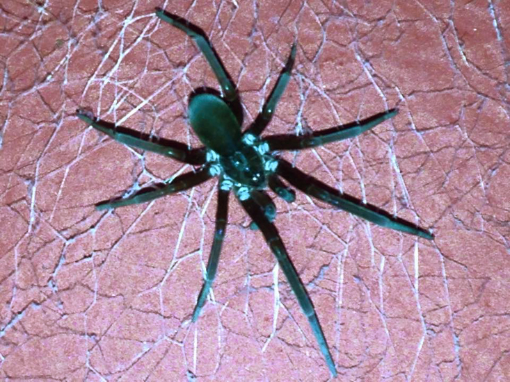 southern house spider cohabitates with humans whats