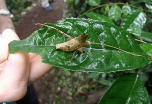 Leaf Mimic Katydid