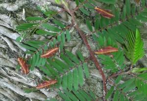 Eastern Lubber Grasshopper Hatchlings