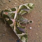 Oleander Hawkmoth from India