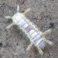 Stinging Slug Caterpillar