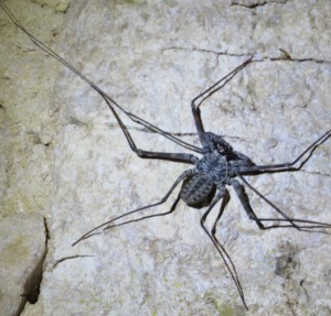 Tailless Whipscorpion