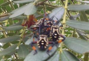Immature Giant Mesquite Bugs