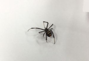 Possibly Immature Widow Spider
