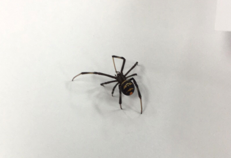 False Black Widow Spider  Facts Bite amp Habitat Information