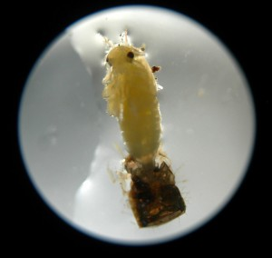 Aquatic Bug