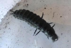 Caterpillar Hunter Larva