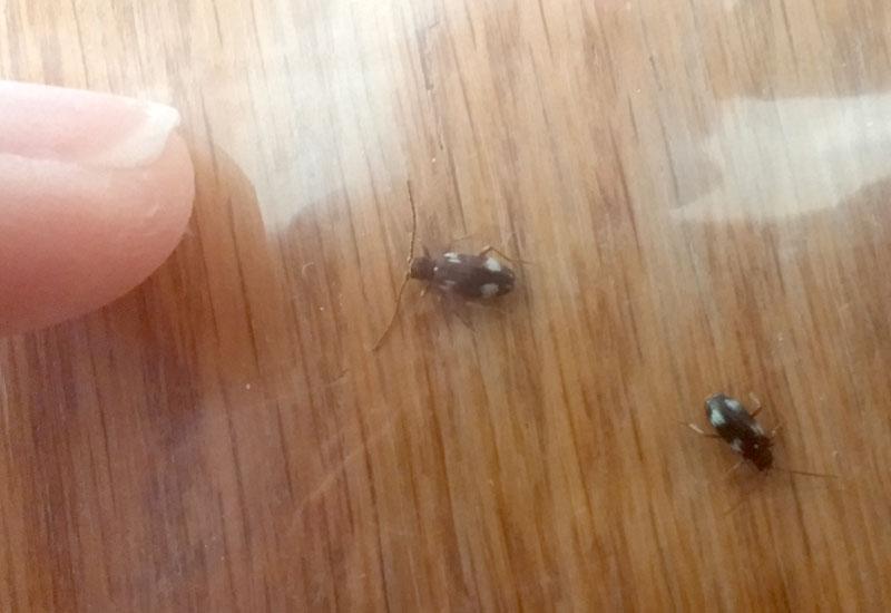 White Marked Spider Beetle Ptinus Sexpunctatus Whats That Bug
