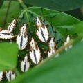 Immature Hemipterans