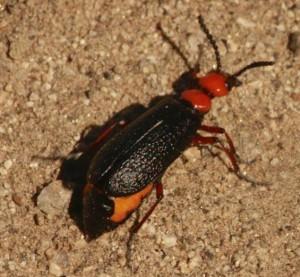Master Blister Beetle