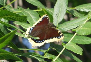 Mourning Cloak on California Black Walnut
