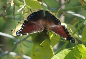 Mourning Cloak with Wild Cucumber