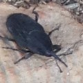 Possibly Red Palm Weevil