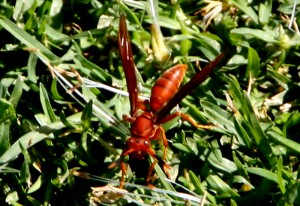 Probably Paper Wasp