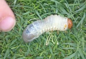 Scarab Beetle Grub