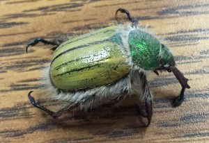Shining Leaf Chafer:  Paracotalpa puncticollis
