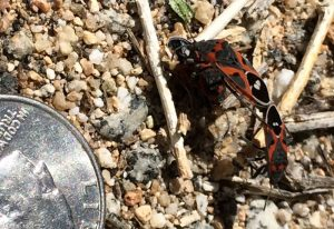 Mating Small Milkweed Bugs