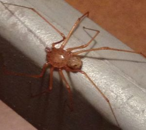 Possibly Spitting Spider
