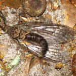 Spring Fishfly