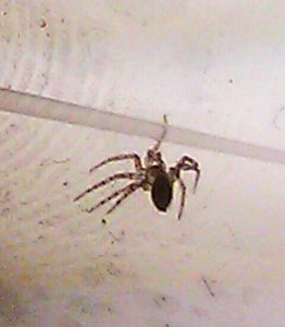 Possibly Wall Spider